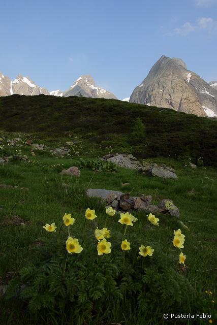 Fioritura di Anemoni alpini gialli
